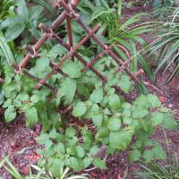 9/15 エリア4の花壇:赤い実はトウガラシとジュズサンゴ