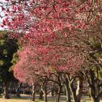 大宮第二公園の梅林