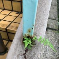 オサンポ walk - スキマ草Plant : シダ君 Mt. Fern 3