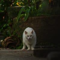 街猫春雷(シュンライノコロノマチネコ)⑤ Okinawan Cats #2237