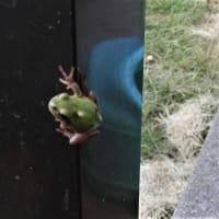 可愛い~~!カエル!とカマキリの赤ちゃん!が庭に遊びに来てま~~す!