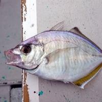 悪天候の中、カイワリ五目釣りへ