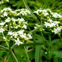 夏の野草花(8月-3) シラヤマギク、ヤブハギ、ヤマジノホトトギス、オトコエシ、他
