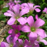 古宇利島の花2