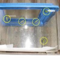 アゲハの幼虫、蛹3、前蛹2