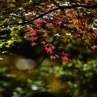 「燃ゆる紅葉」 いわき 夏井川渓谷にて撮影! 椛