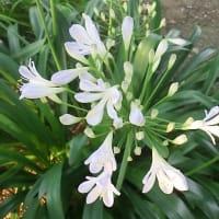 アガパンサスの花は