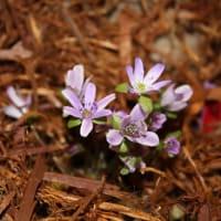 「おはようの花」  ユキワリソウ(雪割草)