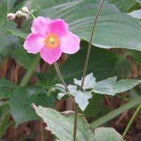 秋明菊(Japanese anemone) Anemone hupehensis 薄れゆく愛 忍耐