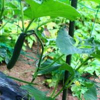 ジャガイモの収穫♬