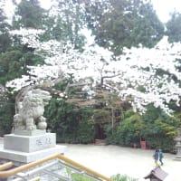 塩釜神社の桜・・