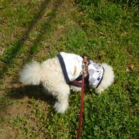 緊急事態宣言の中…老犬ラスさんと春散歩 (*´∇`*)