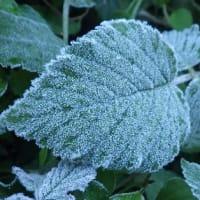 我家の畑にも初霜