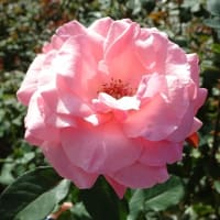 「バラ」/神代植物公園
