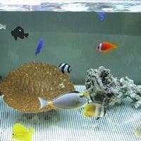 海水魚の低比重飼育