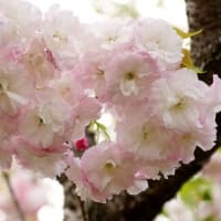 幹吹きの牡丹桜 (南伊勢町五ケ所)