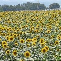 第13回古河花火大会と北杜市明野ひまわり畑2018で感じる2018年の夏