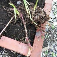 ミョウガの根をもらいました