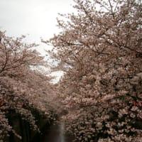 桜開花情報 2010 @MizTV in 目黒川