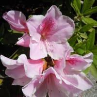 今日の花と花言葉さつき