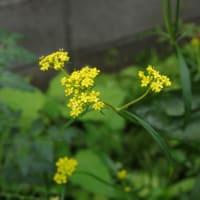 秋の七草は7月に咲く