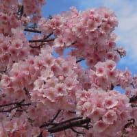 マッキーの『四季を楽しむ』:河津桜が満開に!