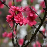 花シリーズ・八重紅白