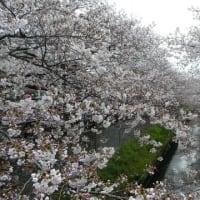 『得栄橋両側からの桜並木』を見てきました@真間川桜並木