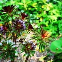 <アエオニウム> 北アフリカ原産の観葉植物