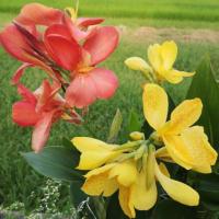 冬越しカンナの開花