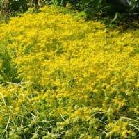 花粉収まった今、始め時 舌下免疫療法/黄色の花。黄菖蒲とメキシコ万年草