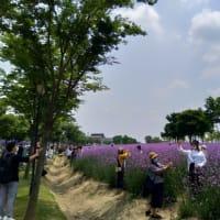 上海 薫衣草公園(香草園)