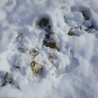 エソユキウサギの足跡