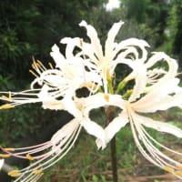 『白花ヒガンバナ』 (デジブックスライドショー№52)