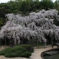 曹源寺の枝垂桜 満開
