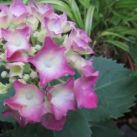 紫陽花「アジアンビュティ」 2