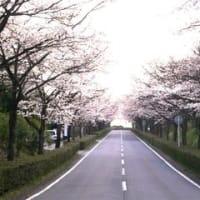 桜花爛漫「火の用心」