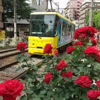 都電とバラの花