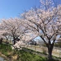 桜 2018 その2