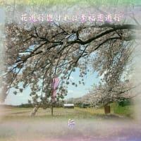 『 花遊行惚ければ至福恋遊行 』筑紫風575交心zrx3107