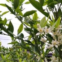 ♪・・・ミカンの花が咲いています・・・♪