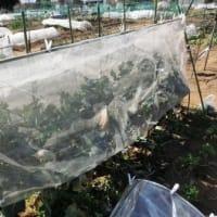菜園日記 Vol.493 2月 27日 「エンドウのネット張り」