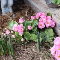 バラ咲きプリムラと玄関先の花々