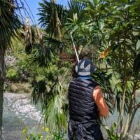 枝の主日のための棕櫚の葉を譲っていただきに行ってきました
