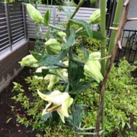 新しい庭作り、白百合の花 ② 🌿 2019年7月6日