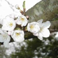 桜満開、野花も満開
