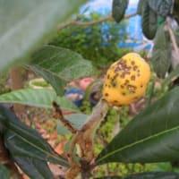 491 重曹で植物に栄養を…害虫の予防に ・・・枇杷の葉の効用など  再投稿・写真変更
