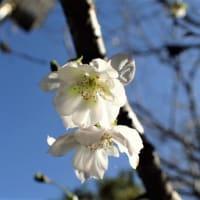 台風19号 避難所の課題、克服を/災害時の避難所 被災者の尊厳守る環境に/生活再建へ 住む家の確保を急ぎたい/十月桜と八重枝垂れ桜、四季咲き木犀も咲いています。