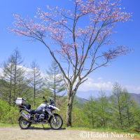 県境に咲く一本桜