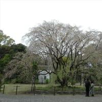 「枝垂桜」/六義園2020